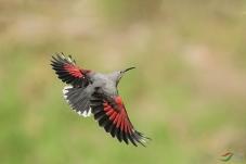 红翅旋壁雀