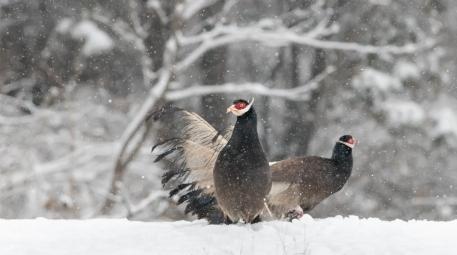 风雪褐马鸡