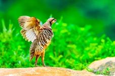 夏日季(鸡)风