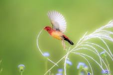 红梅花雀的小扇子