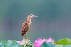 荷塘黄纬鹣鸟