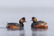 水里的鸟儿成双对