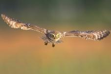 一字马——纵纹腹小鸮