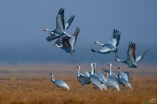 美丽的白枕鹤