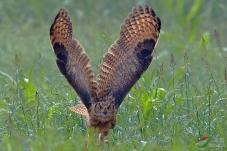 鹀林鸮。。。。。