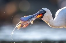 琵鹭的美食
