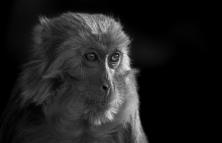 猴生百態-----犀利的眼神