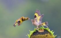葵花园拍金翅雀