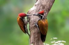 大金背啄木鳥