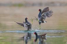 黑水鸡打斗一越而起。