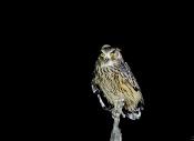 国庆拍鸟:首次夜拍黄腿渔鸮