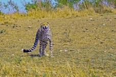 马赛马拉的猎豹