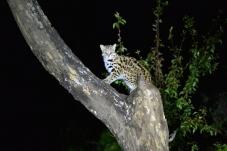 树上一只豹猫出现了