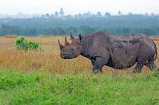 草原大块头——犀牛