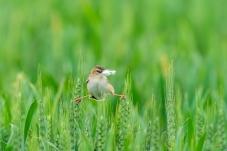 宗扇尾莺在麦田忙碌