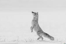 雪地望天的沙狐