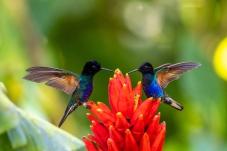 和谐——紫冕蜂鸟