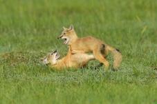 坝上草原玩耍的小狐仙
