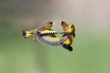 金翅雀——空中对话!