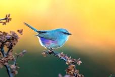 夕阳下的花彩雀莺(雌)