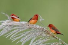 红梅花雀----努力干活
