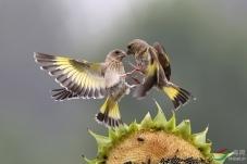 汗流如雨 只为看见你展开双翅时金色的翅膀