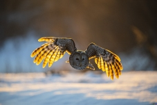 晨光中的长尾林鸮