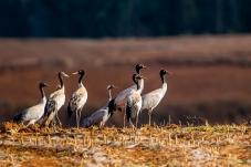 念湖:田地里的黑颈鹤群