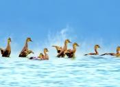 紫光鸟影:观绿头雏鸭