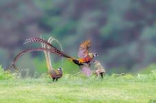 雉鸡飞舞迎中秋