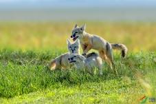 草原上的小精灵―――沙狐