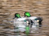 国庆拍鸟:罗纹鸭拍摄记