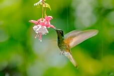 南美洲黄尾冕蜂鸟