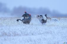 雪中斗-黑琴鸡