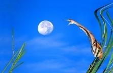 学天狗吃月亮(黄苇鳽)
