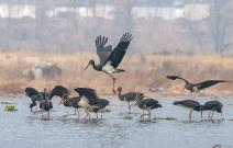 水溪觅食的黑鹤