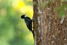 菲律宾——乌啄木鸟