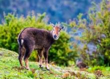 喜马拉雅斑羚