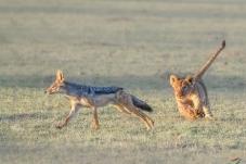 不屑一顾的豺狼与小狮子(祝贺佳作获动物首