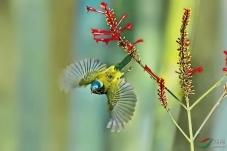 叉尾太阳鸟(祝贺荣获首页鸟类精华)