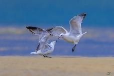 年轻遗鸥对歌,祝各位鸟友双节快乐!