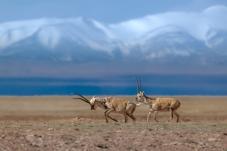 藏羚羊嬉戲在昆侖山下