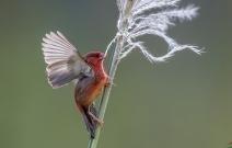 红梅花 雀