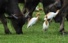 水牛与牛背鹭