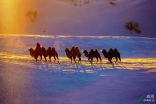 晨光中的驼队
