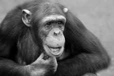 若有所思的黑猩猩