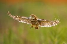 展翅——纵纹腹小鸮