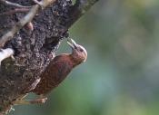 清风入怀:栗啄木鸟