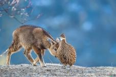 你是那家的妹妹?---赤斑羚