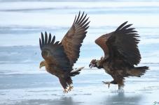 这是我的地盘--雕与秃鹫